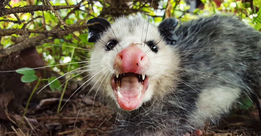 Opossums carry rabies gga pest management