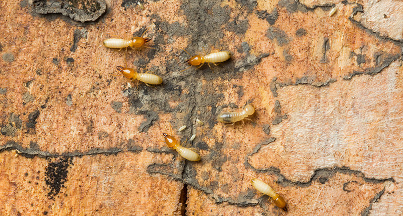 termite pest control damage
