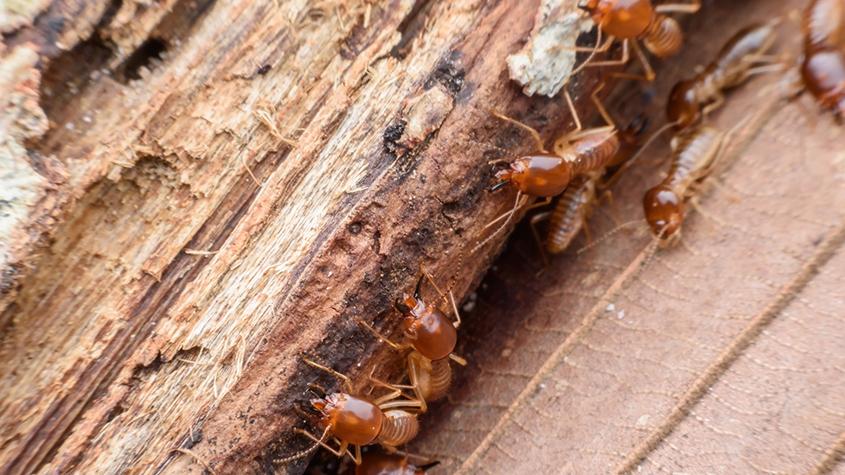 termite pest control gga pest management