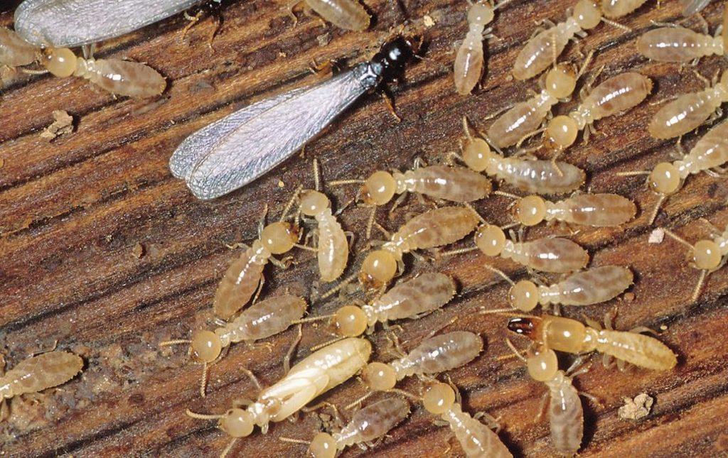 termites gga pest management texas