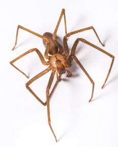 brown_recluse_spider_-_bug_0758