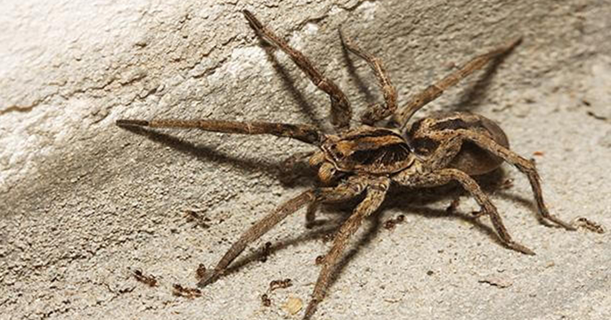 wolf spider bugs gga pest management