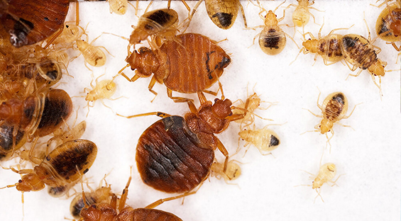 bed bug control gga pest control texas