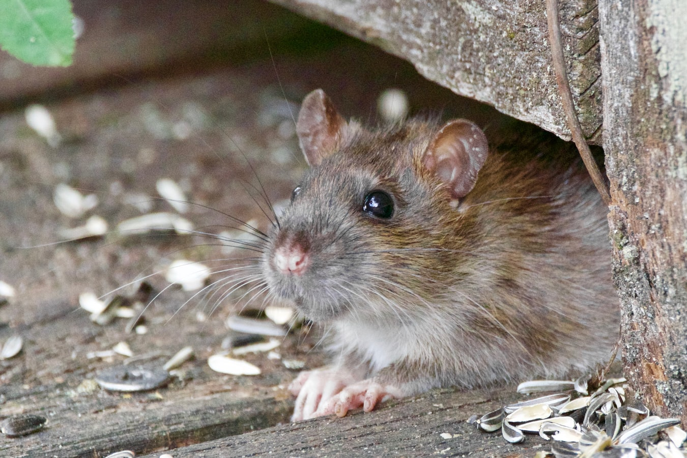 mice and rat rodent control gga pest management texas