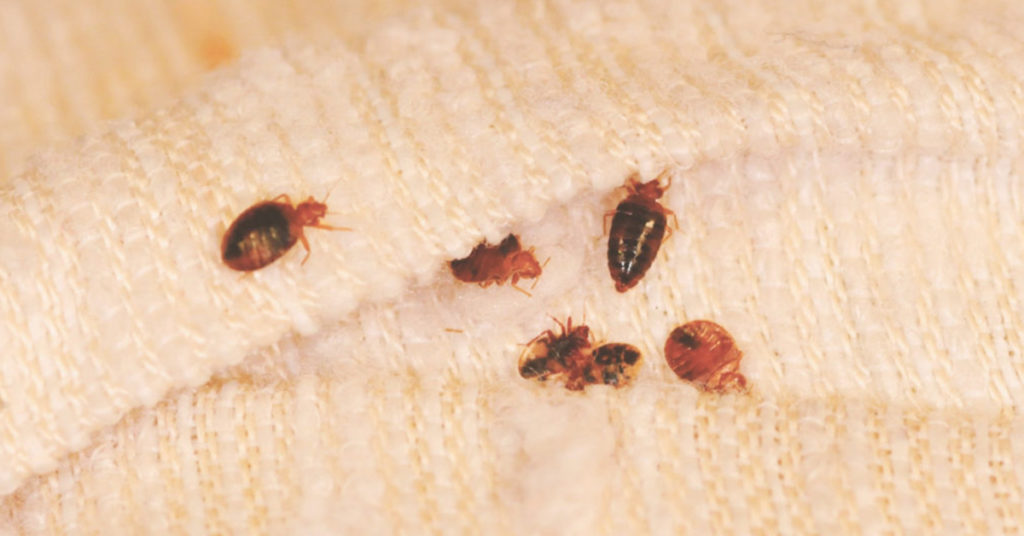 professional pest control bed bug services gga pest management