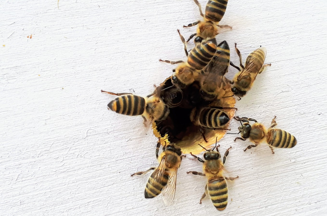 honey bees and wasp pest control