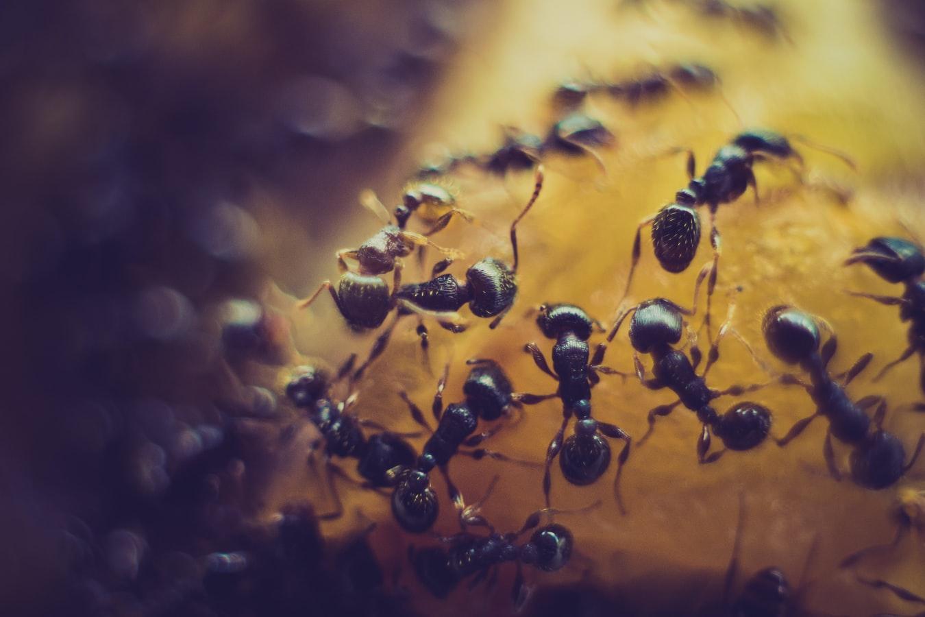 pest control ants waco texas