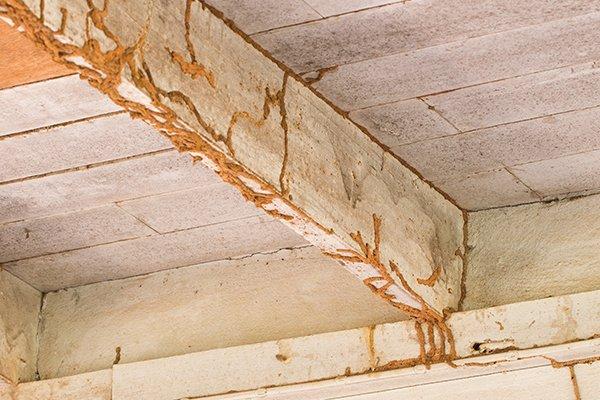 termite mud tubes termite infestation gga pest management