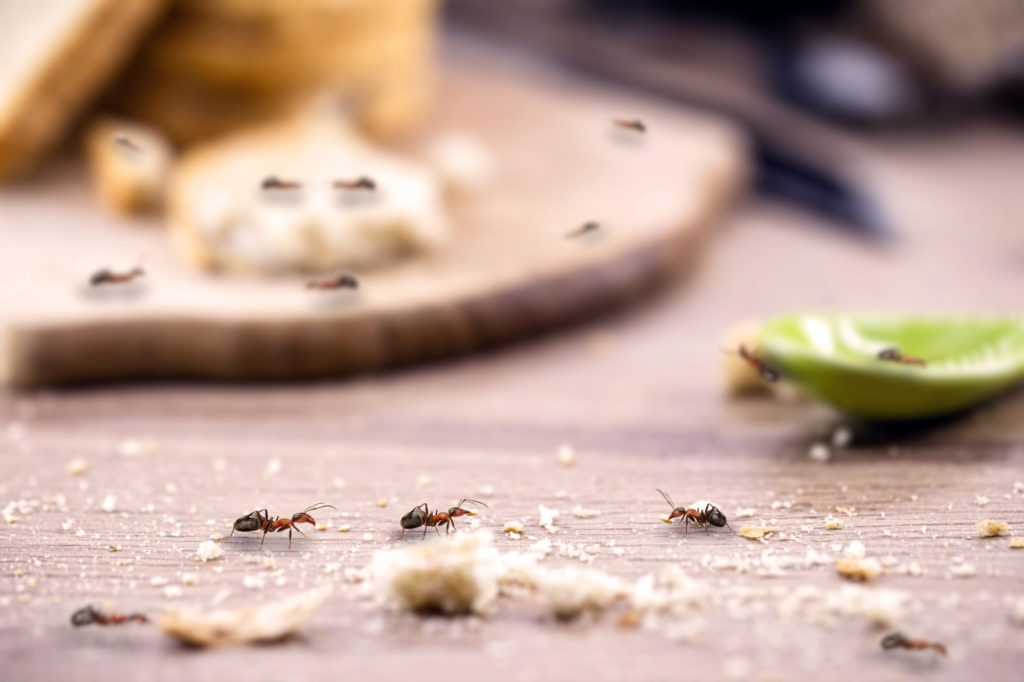get rid of ants in your kitchen texas pest control gga pest management