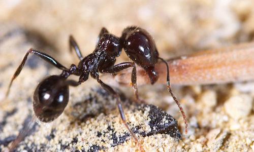 black ant control