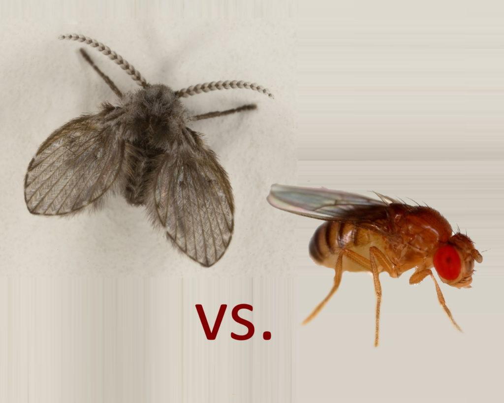 drain flies ans fruit flies