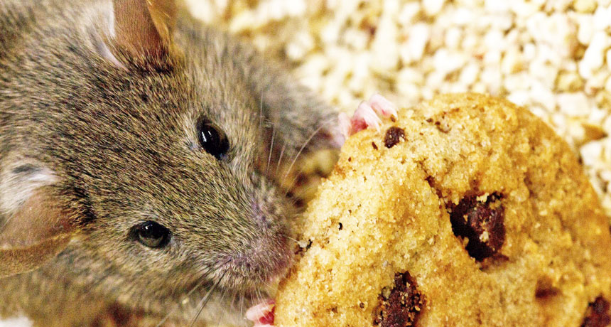 mice eat snacks around home or business