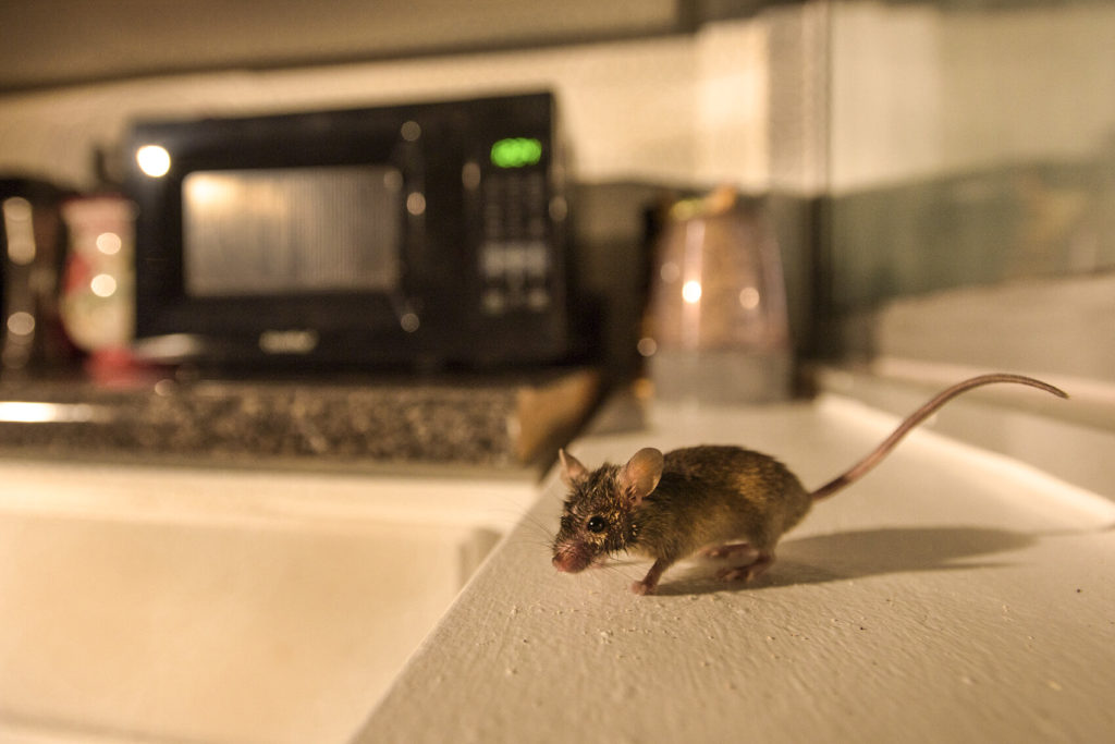 what do mice eat in your home or business gga pest management