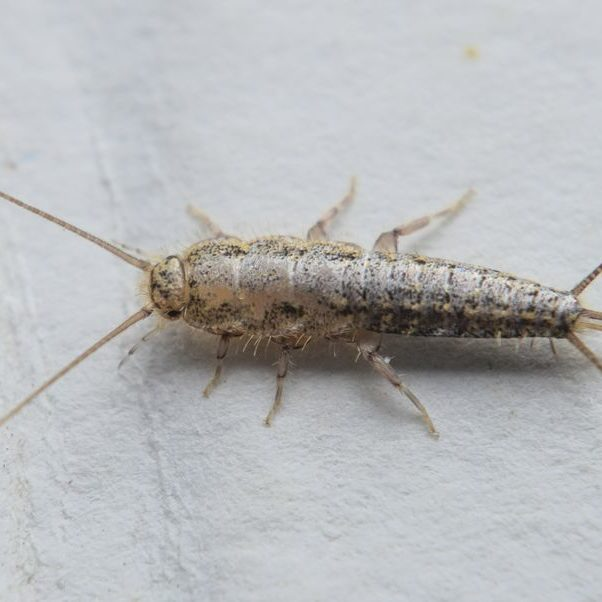 silverfish insect gga pest management