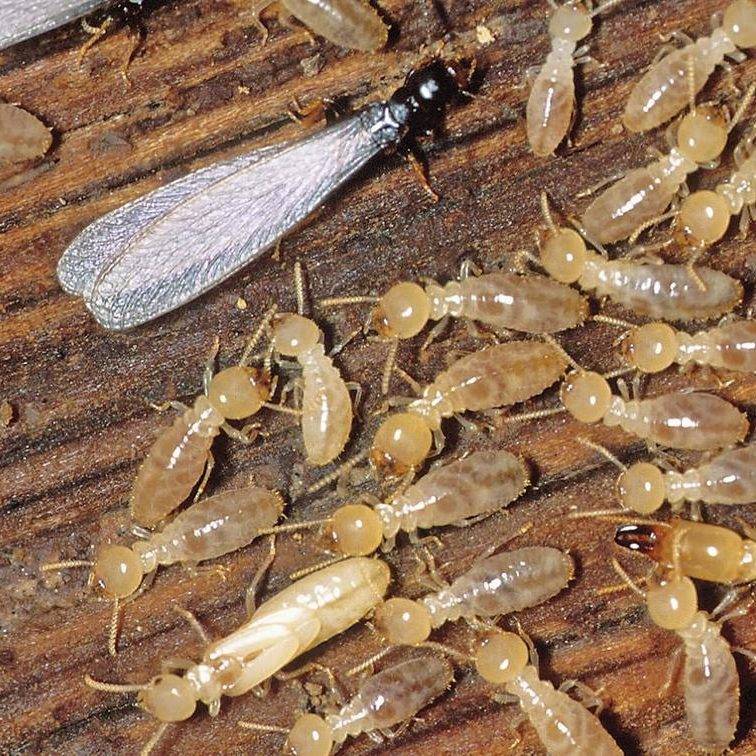termites gga pest management texas